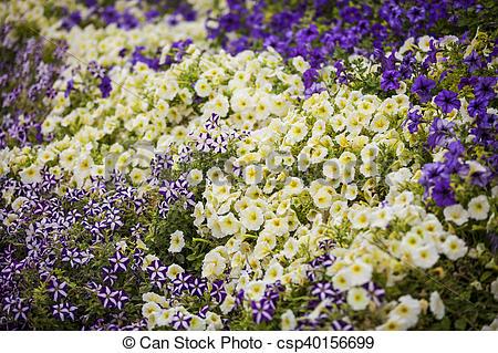 Stock Photographs of Petunia.