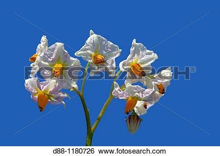 Stock Images of Potato Flower Solanum tuberosum Order: Solanales.