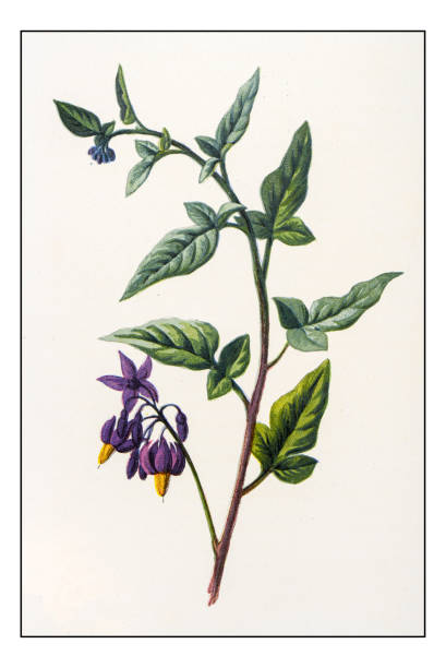 Solanum Clip Art, Vector Images & Illustrations.