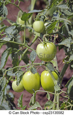 Pictures of Lycopersicon esculentum, Solanum lycopersicum.