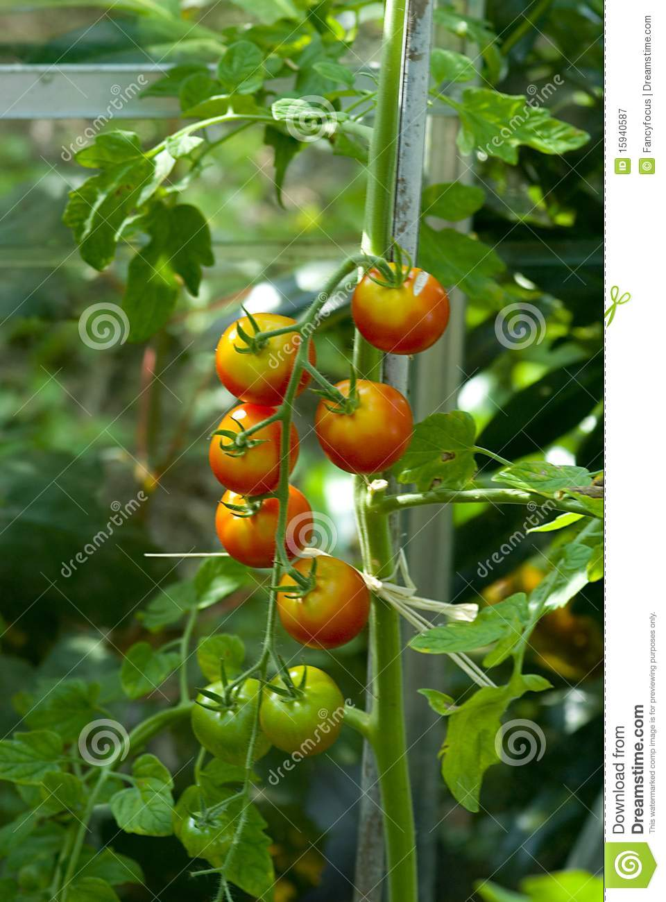Tomato (Solanum Lycopersicum) Plant Royalty Free Stock Photography.