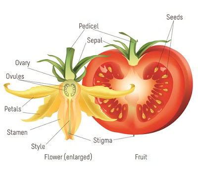 Classification, Botany, Cytology and Hybridization of solanum.