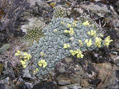 soldanella alpina alba.