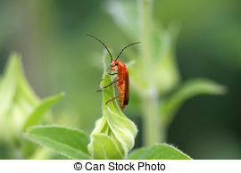 Soldier beetle Clipart and Stock Illustrations. 30 Soldier beetle.