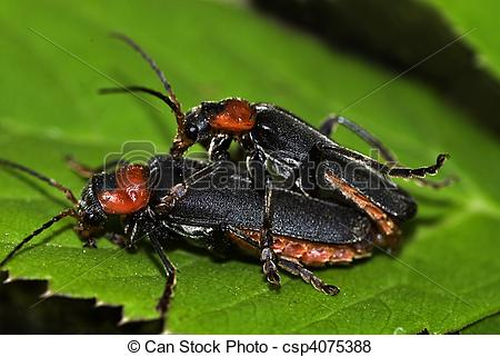 Pictures of soldier beetle (cantharis fusca) mating csp4075388.