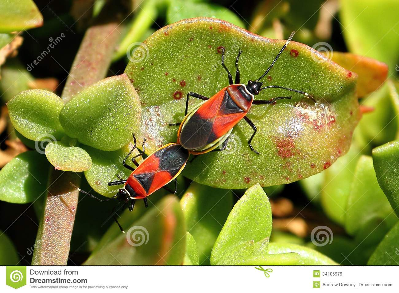 Soldier Beetles Fighting (mating) Royalty Free Stock Image.