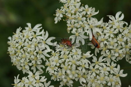 Beetle Soldier Beetle Red Stock Photos Images. 91 Royalty Free.