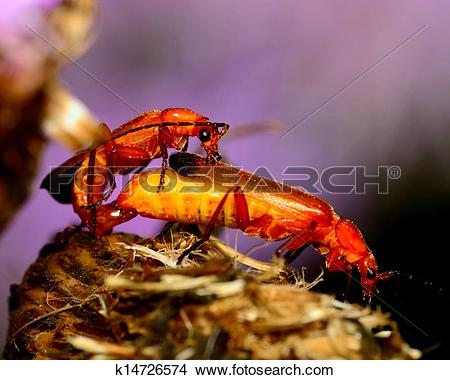 Stock Photo of Soldier Beetle k14726574.