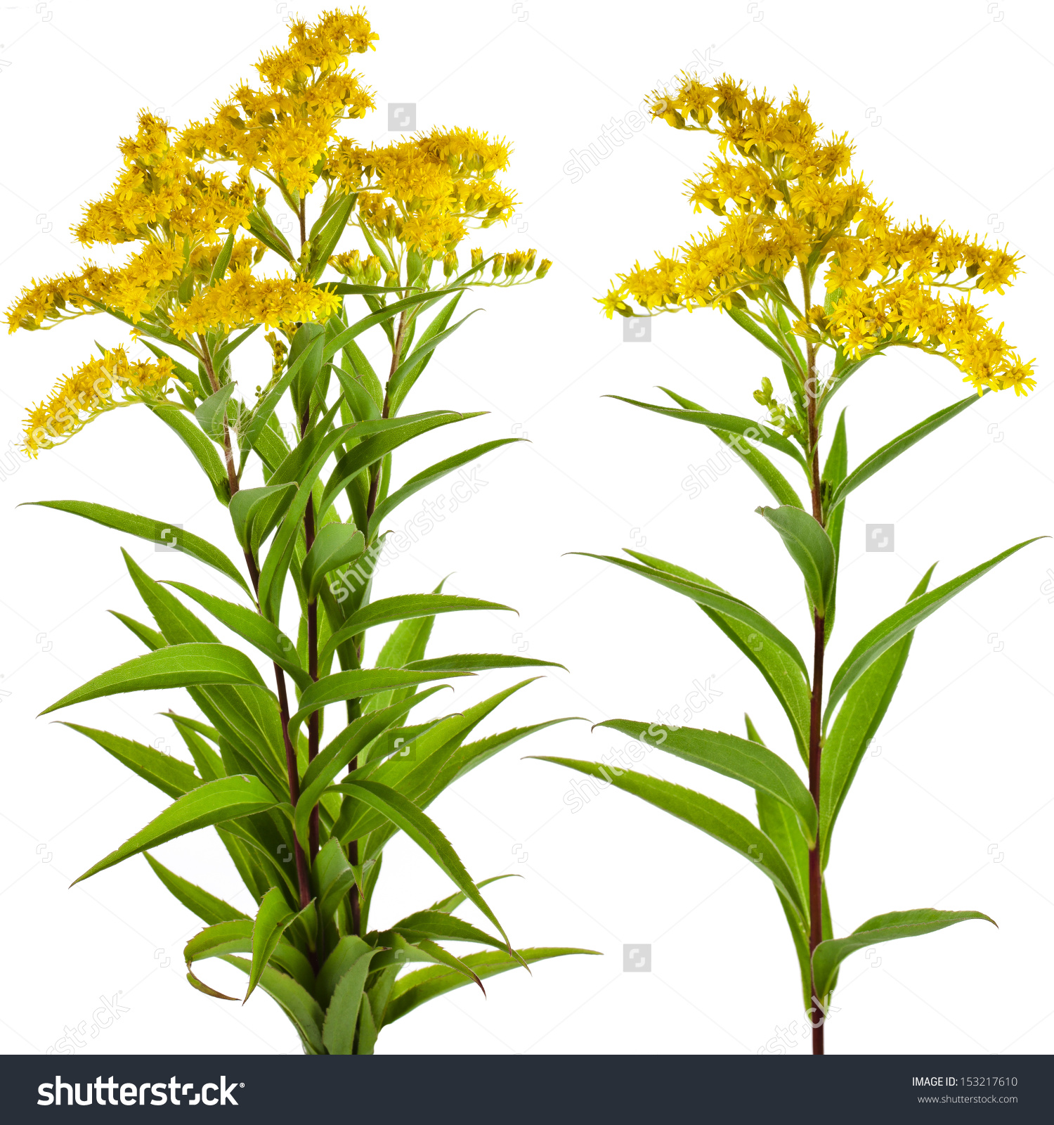Solidago Canadensis Goldenrod Flower Isolated On Stock Photo.