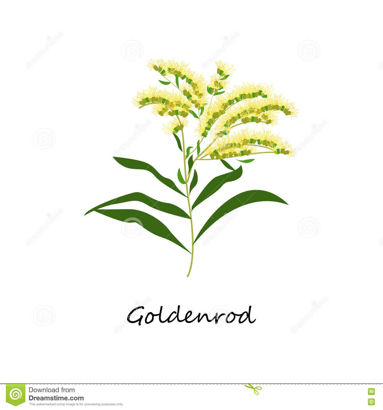 Solidago Canadensis, Goldenrod Flower. Botany Set Herbs. Stock.