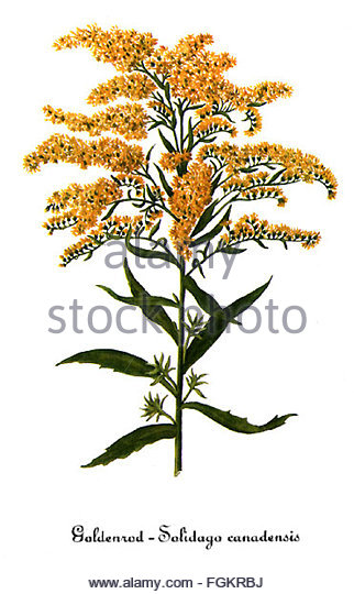 Solidago Cut Out Stock Images & Pictures.