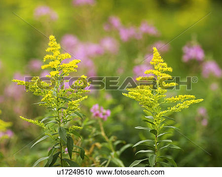 Stock Photography of Goldenrod (Solidago canadensis) with Fireweed.