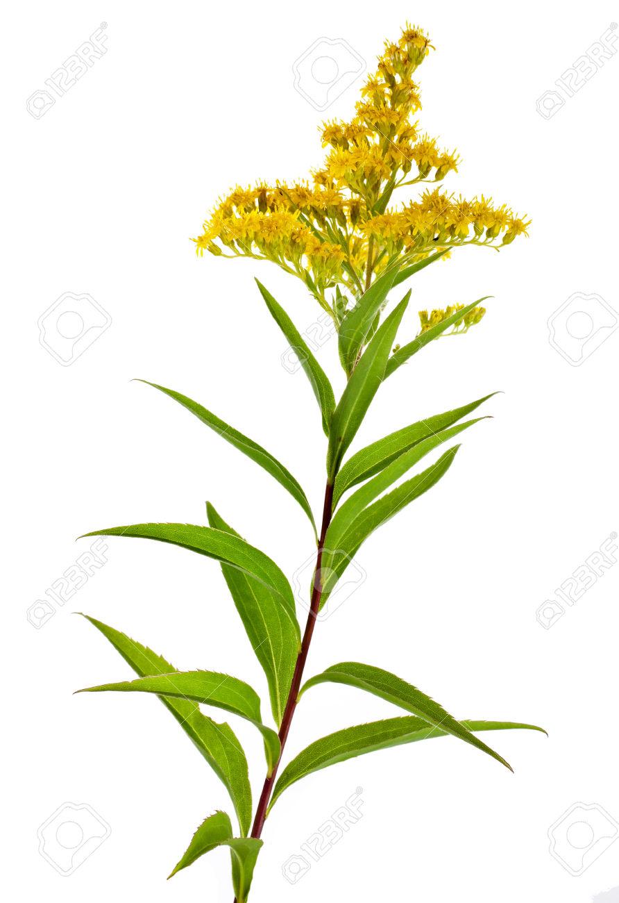 Solidago Virgaurea Canadensis Goldenrod Flower Isolated On White.