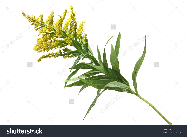 Solidago Canadensis Goldenrod Flower Stock Photo 87581593.