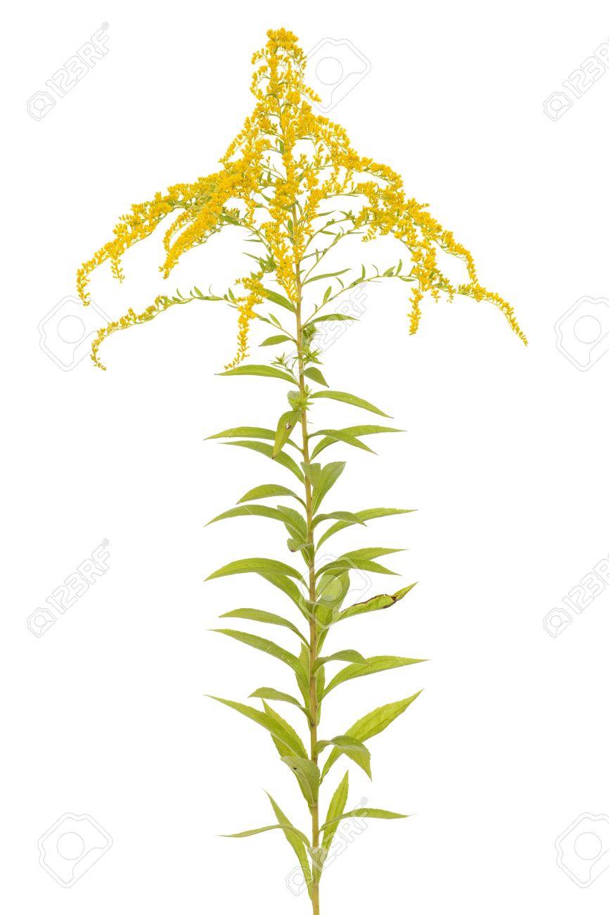 Big Flower Golden Rod (Solidago Canadensis) On White Stock Photo.