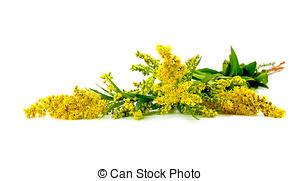 Stock Images of Canada goldenrod or Canadian goldenrod (Solidago.