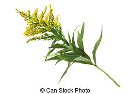 Goldenrod Stock Photos and Images. 624 Goldenrod pictures and.