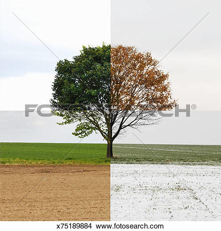 Stock Photo of Solitary tree shown in all four seasons x75189884.