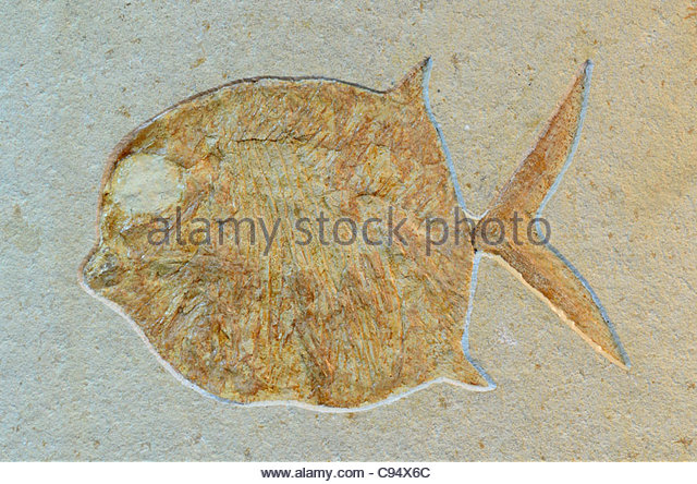 Fossil Fish Skeleton Stock Photos & Fossil Fish Skeleton Stock.