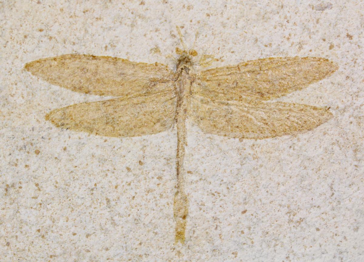 "4"" Fossil Dragonfly (Aeschnogomphus)."