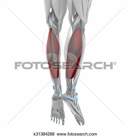 Pictures of Soleus.