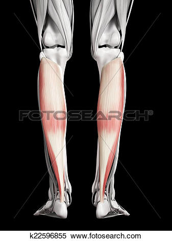 Stock Illustration of soleus k22596855.