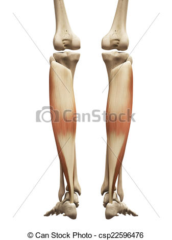 Stock Illustrations of the soleus.
