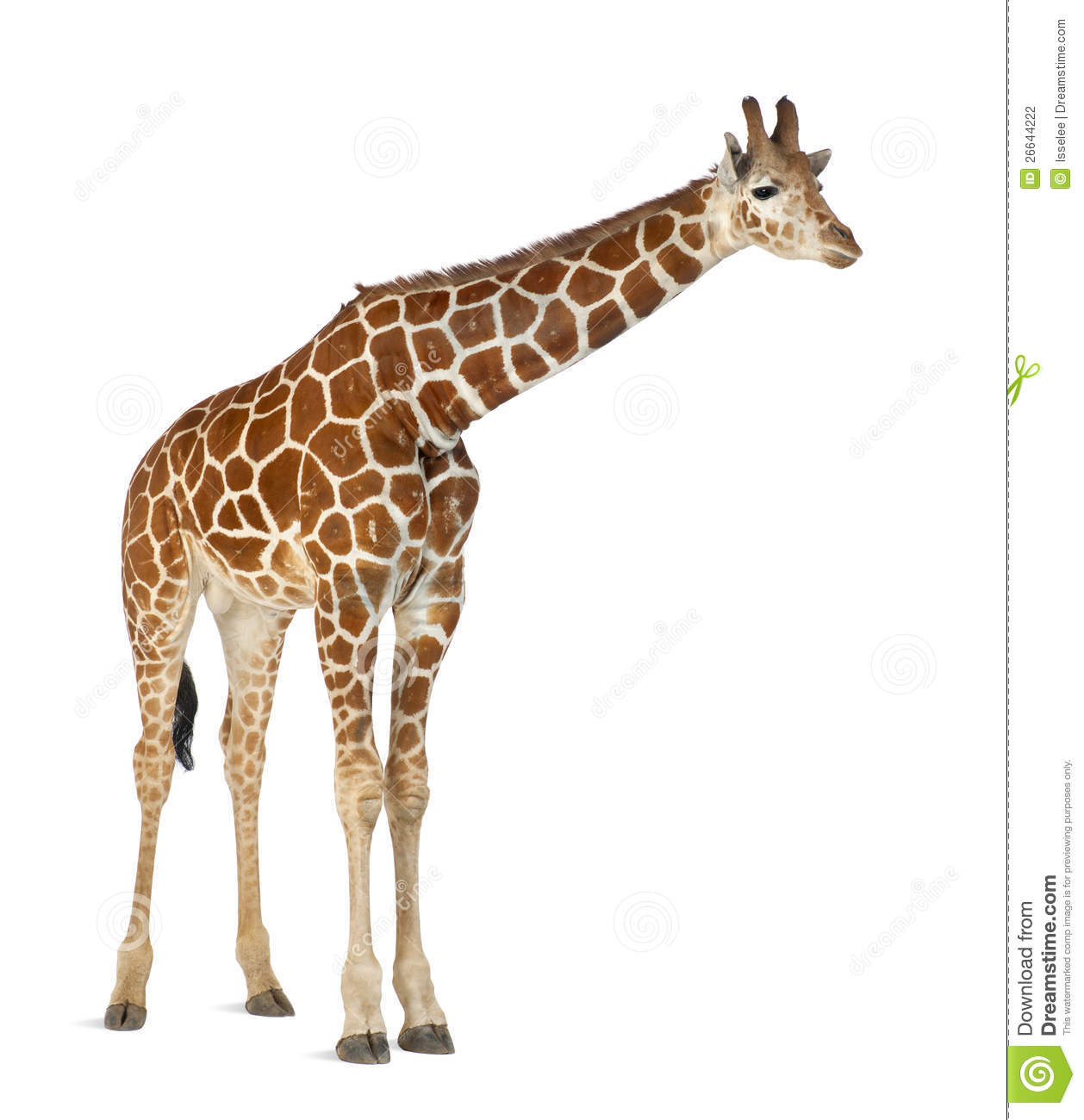 Giraffe Side View Stock Photos, Images, & Pictures.