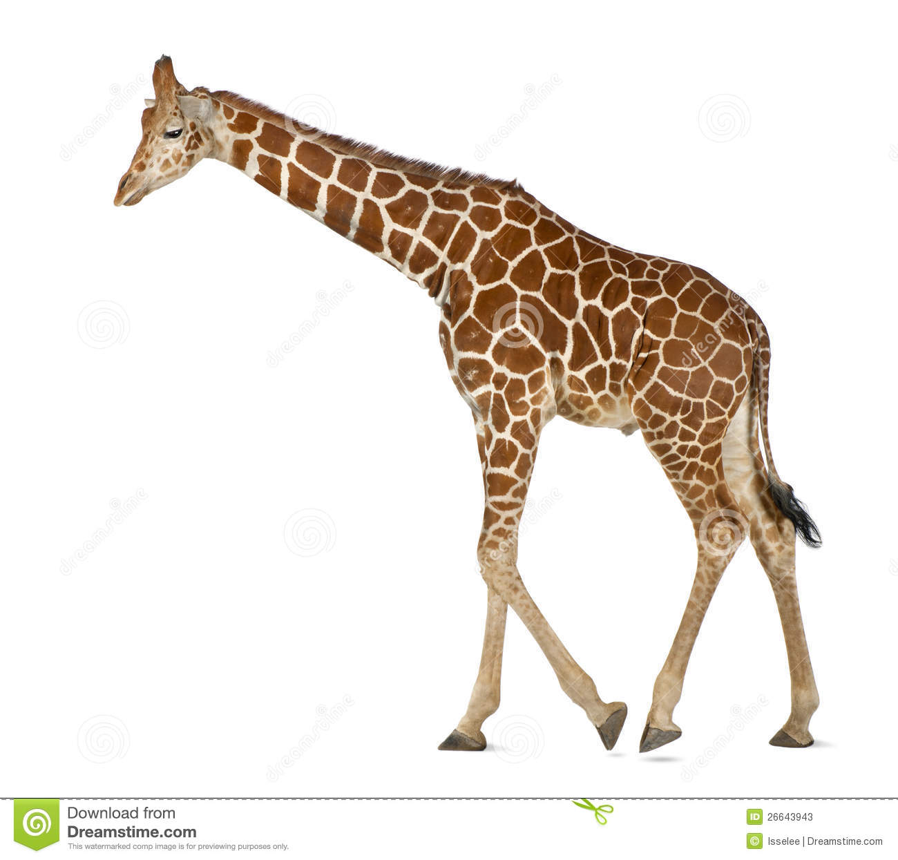 Somali Giraffe Stock Photos.