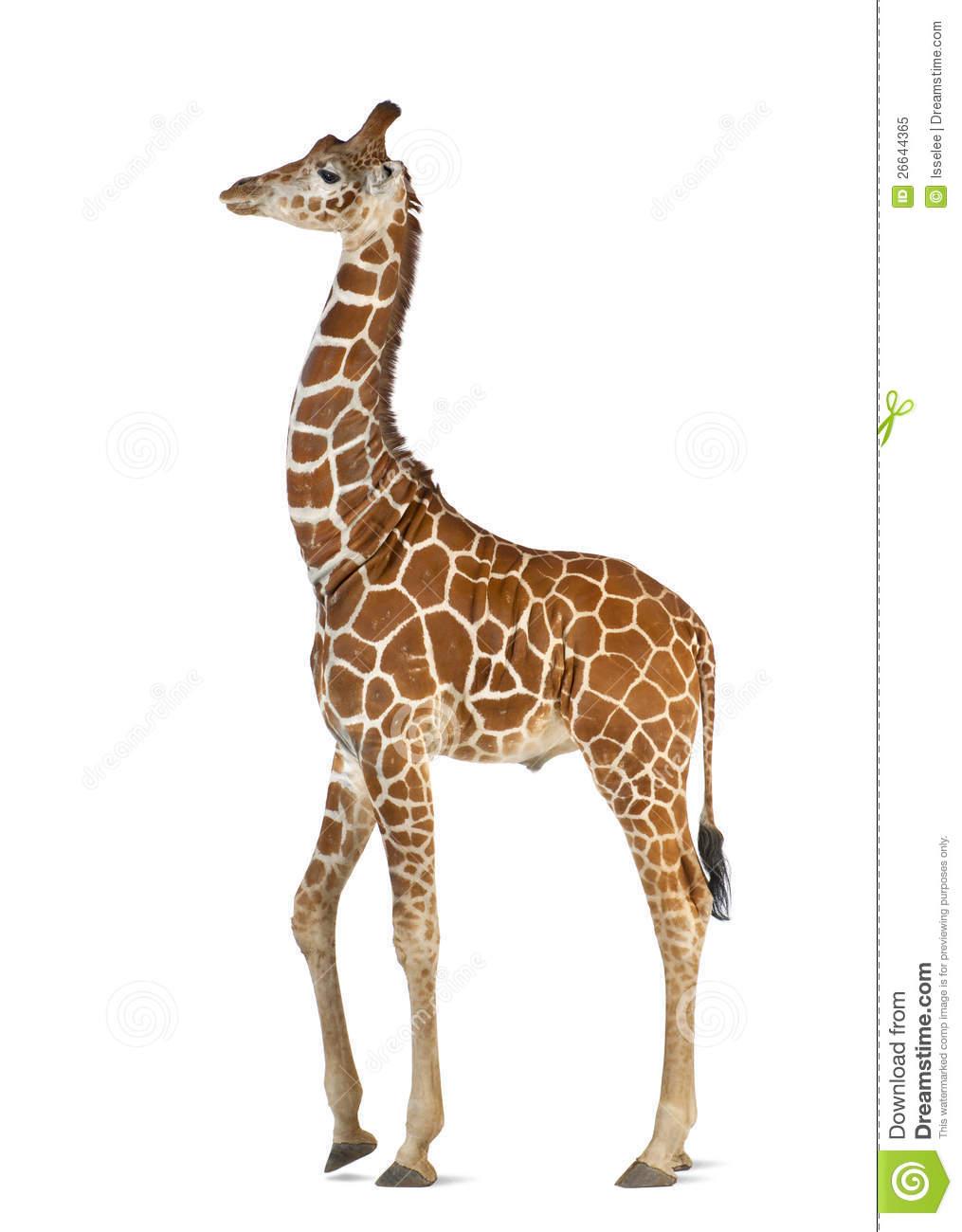 Somali Giraffe Royalty Free Stock Photo.