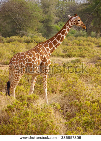 Giraffa Stock Photos, Royalty.