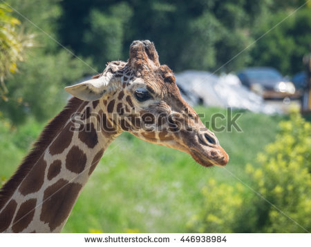 Reticulated Giraffe Stock Photos, Royalty.