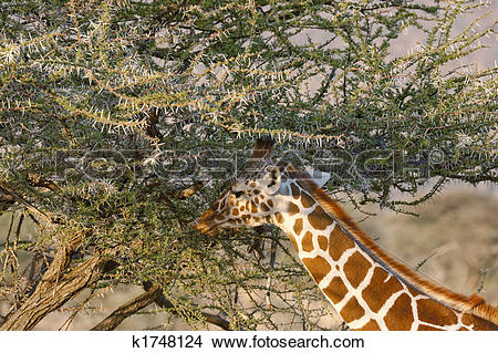 Stock Photo of Somali Giraffes portrait k1748124.