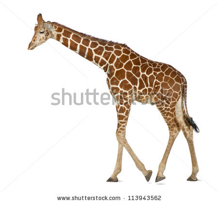 Giraffe Side View White Stock Photos, Royalty.