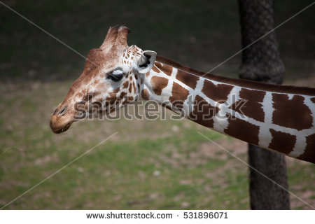 Giraffe Stock Photos, Royalty.