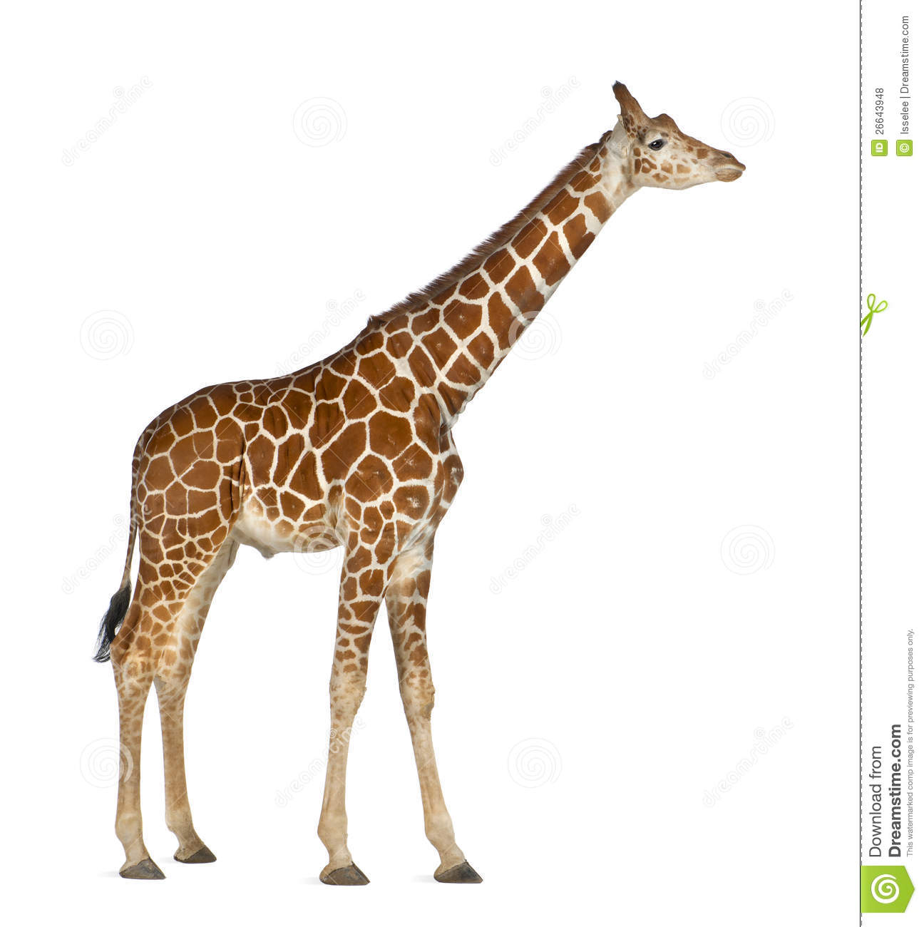 Somali Giraffe Royalty Free Stock Photos.