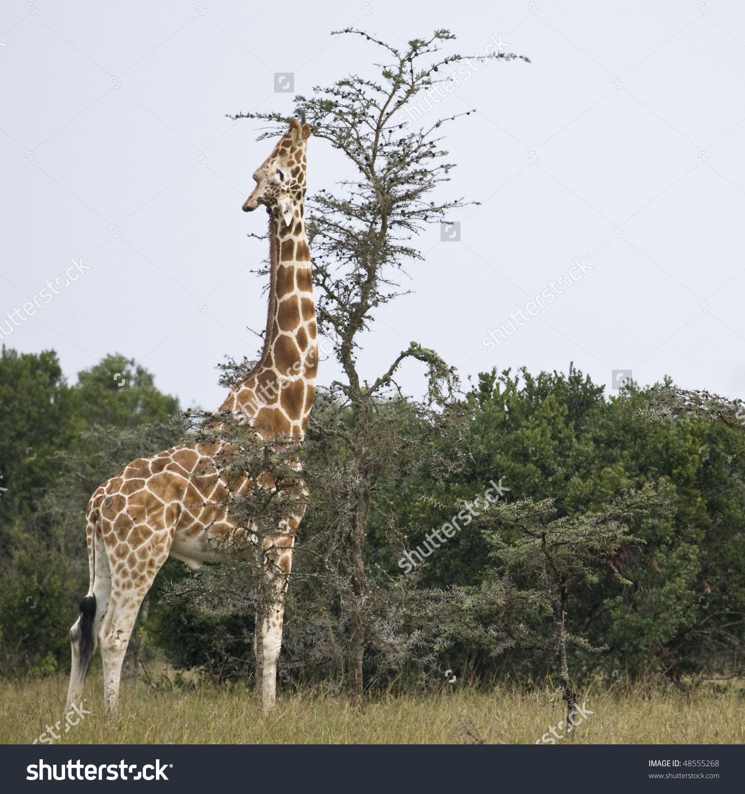 Reticulated Giraffe Or Somali Giraffe, Republic Of Kenya, East.