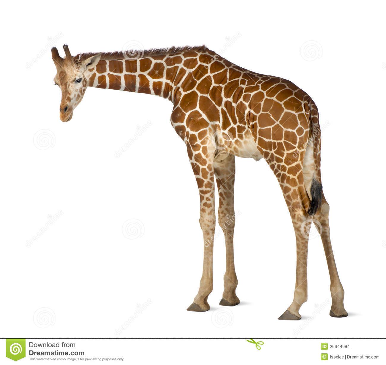 Somali Giraffe Stock Images.