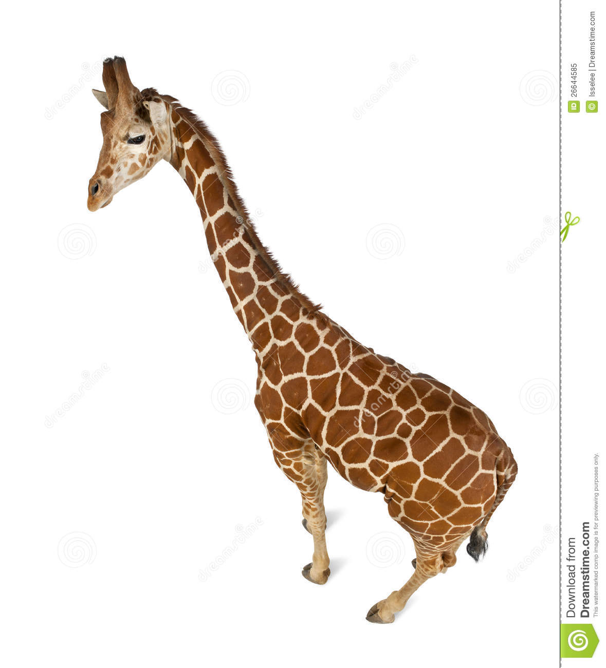High Angle View Of Somali Giraffe Royalty Free Stock Photo.