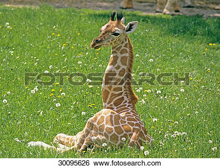 Stock Images of Somali Giraffe cub.