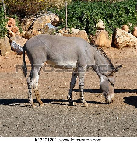 Stock Photography of african somali wild ass k17101201.