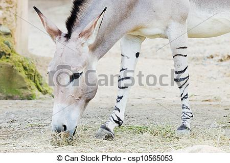 Stock Images of Somali wild ass.