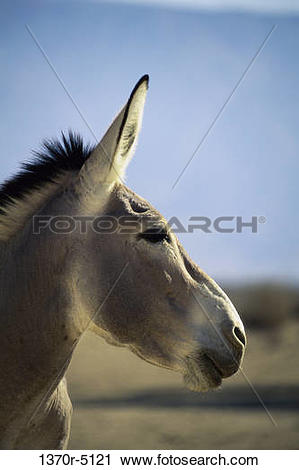Stock Photography of Side profile of a Somali Wild Ass 1370r.