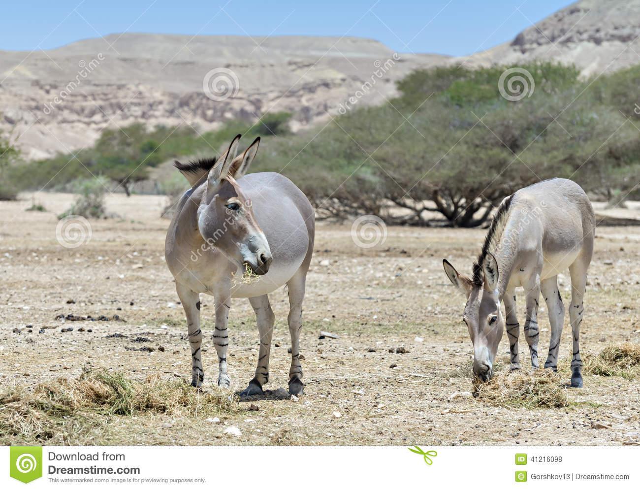 Somali Wild (Equus Africanus) In Israeli Nature Reserve Stock.
