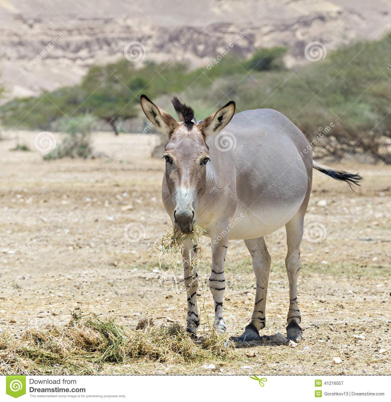 Somali wild ass clipart #20