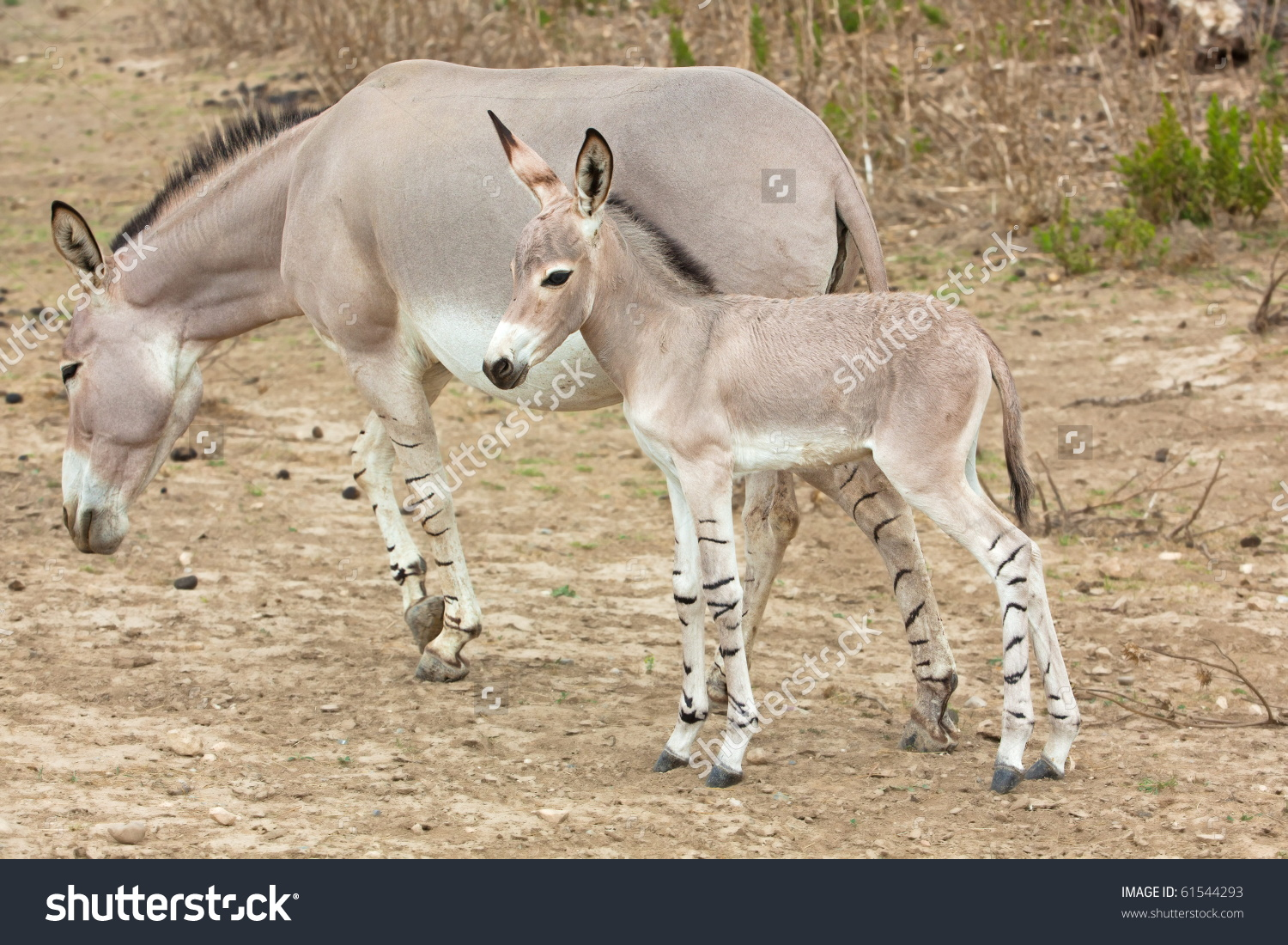 Somali Wild Ass Baby And Mother In Nature Stock Photo 61544293.
