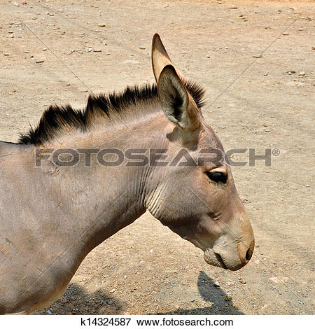 Picture of somali wild ass k14324587.