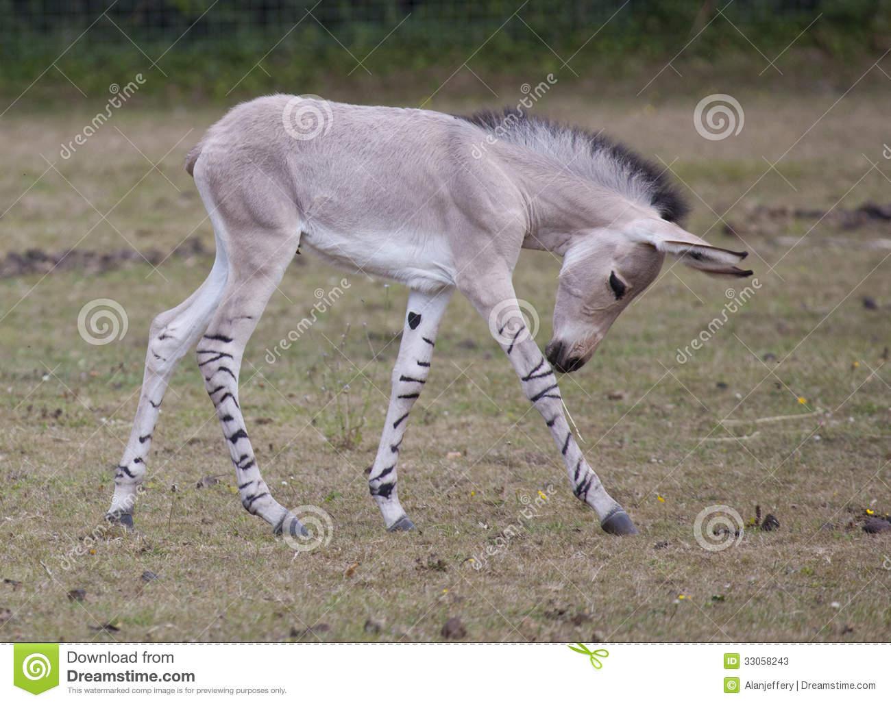 Somali Wild Foal Stock Photos.