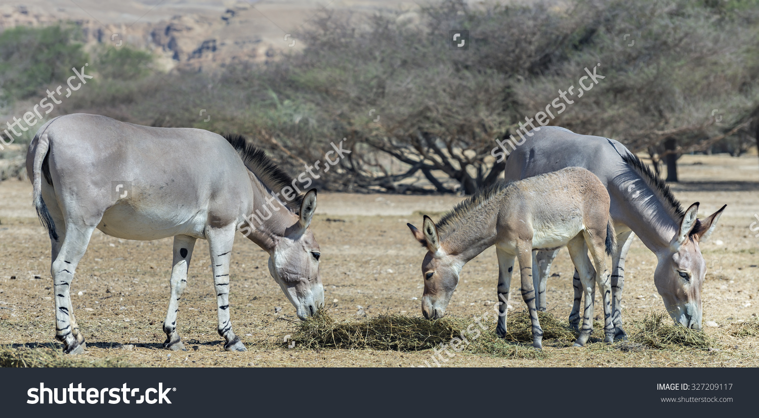 Family Of Somali Wild Donkey (Equus Africanus) In Nature Reserve.