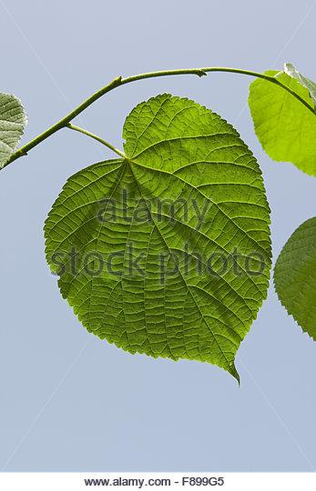 Linden Leaf Stock Photos & Linden Leaf Stock Images.